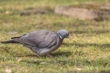 Pigeons : les risques et comment s'en débarrasser