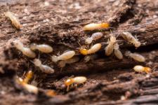 Termites dans parties communes d'un immeuble