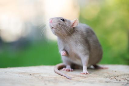 Deratiser Un Immeuble Se Debarrasser Des Rats Et Souris